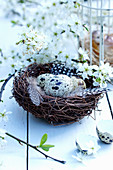 Quail eggs, feathers and twigs of mirabelle plum blossom in nest