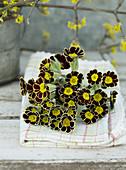 Posy of Primula 'Victoriana Gold Lace' on checked napkin