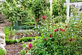 Vegetable patch between blooming roses
