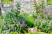 Flowering sage and white foxglove amongst stones in garden against old white outside wall