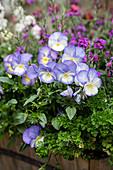 Purple violas and curly-leaf parsley in window box