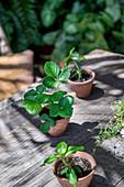 Pflanzensetzlinge in kleinen Tontöpfen auf Holztisch im Freien