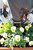 Violas and lettuces in window box
