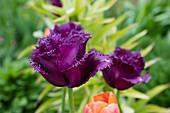 Purple crispa tulip
