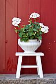 Geranium in white pot on white stool