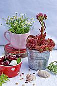 Blooming houseleek in a zinc pot, cherries, and seashells