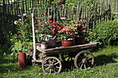 Various potted plants on old pull-along cart in summery cottage garden