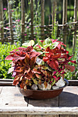 Coleus planted in bowl on wooden table outside