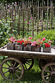Garden decorated with geraniums and coleus in square wooden pots on old wooden cart