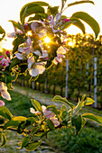 Apple blossom in the morning sun
