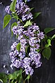 Purple lilac on black surface