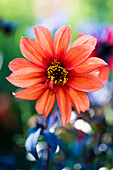 Salmon-colored dahlia against a blurred background