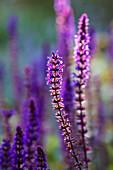 Purple flowering ornamental sage in the sunlight