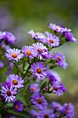 Purple flowering autumn asters