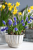 Grape hyacinths in jelly mould with narcissus in background