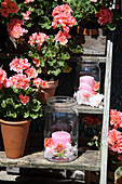 DI candle lanterns and salmon-pink geraniums on old step ladder in garden