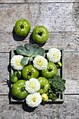 White pompom dahlias, green tomatoes and houseleeks in wooden box