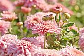 Pink chrysanthemums in garden