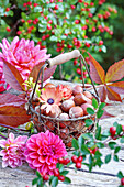 Wire basket of hazelnuts and Cape daisies surrounded by dahlias on wooden table