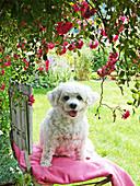 Bichon Frisé dog on garden chair below climbing rose 'Super Excelsa'