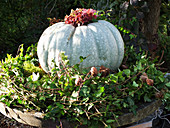 Green ornamental squash in wreath of ivy