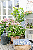 Container plants on the terrace: standing geranium, hydrangea and citrus trees
