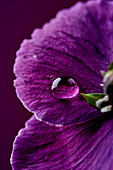 Lila Blüte mit Wassertropfen