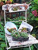 Arrangement of houseleeks on old chair in garden