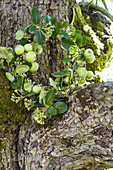 Wreath of apple branches and green viburnum berries in the fork of a tree