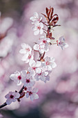 Blossoming branch of black cherry plum (Prunus cerasifera 'Nigra')