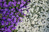Hornkraut und Glockenblume als Farbkombination
