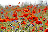 Field with corn poppies and cornflowers