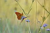 Kaisermantel Schmetterling auf Skabiose