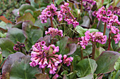 Bergenia in bloom