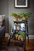 Houseplants on step-ladder shelves