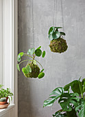 Kokedama (balls of moss planted with houseplants)