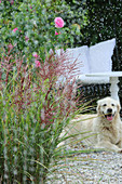 Flowering Chinese grass, rose, and a dog in the rain on the terrace