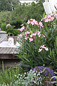 Flowering oleander on terrace