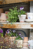 Violas and thyme amongst terracotta pots on shelves