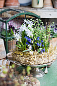 Siberian squill, grape hyacinths and thyme in wreath of straw