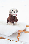 Dog wearing winter coat sitting on sledge in snowy surroundings
