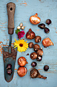 Old trowel, marigold and flower bulbs