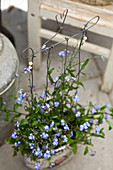 Handmade wire plant support in pot of forget-me-nots