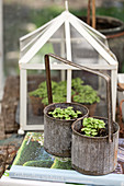 Seedlings in old metal bottle carrier