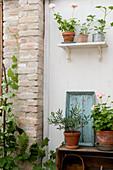 Geranien, Olivenbäumchen und Weinrebe auf Regalen und an einer Backsteinwand