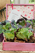 Cabbage seedlings in pink wooden box with plant labels