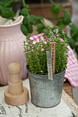 Embossed metal plant label and ruler decorating pot of lemon thyme