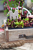 Swiss chard seedlings in wooden crate with decorative concrete letter
