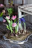 Tulips and iris reticulata in nest in old dish