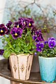 Purple and lilac violas in vintage-style pots